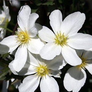 Clematis Avalanche (evergreen)