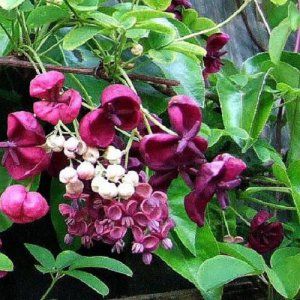 Akebia Quinata – Chocolate...