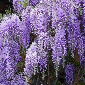 Wisteria Sinensis (Chinese...