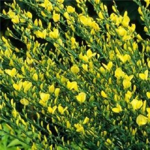 Cytisus Allgold (Broom)