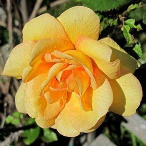 Maigold (Climbing rose /...