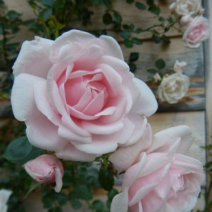 New Dawn (Climbing rose /...