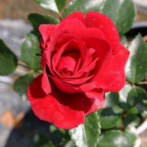 Sympathie (Climbing rose /...