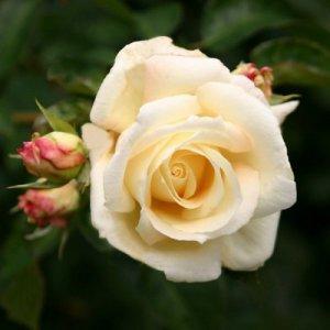Schneewalzer (Climbing rose...