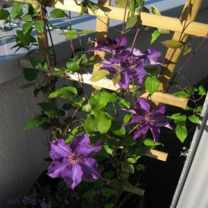 Clematis Polish spirit (for...