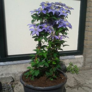 Clematis Justa (for balcony...
