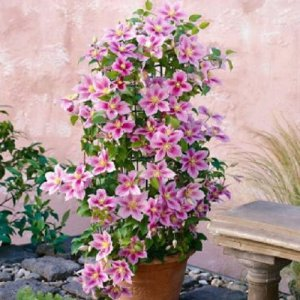 Clematis Piilu (for balcony...