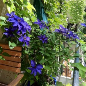 Clematis The President (for...