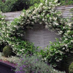 Star Jasmine: evergreen...