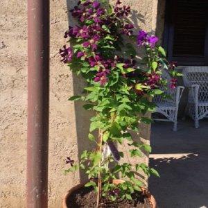 Clematis Etoile Violette...