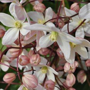 Clematis Rubra (evergreen)