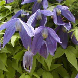 Clematis Tage Lundell
