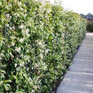 Hedge of Star Jasmine (1...