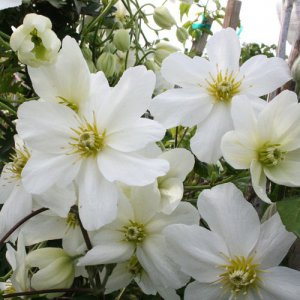 Clematis Joe (evergreen)
