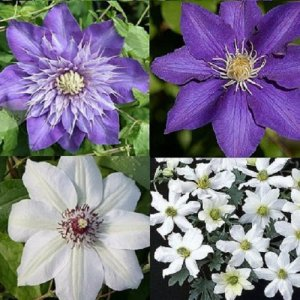 Blue - White Clematis...