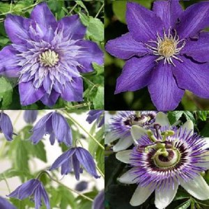 Blue Clematis/Climbers...