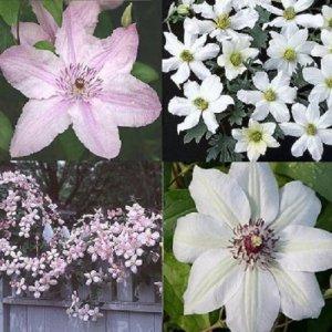 Pink - White Clematis...