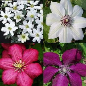 Red - White Clematis...