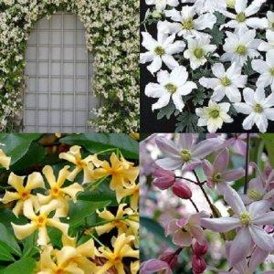 White-yellow-pink evergreen...