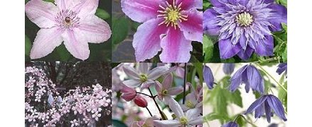 Clematis Mixed colors