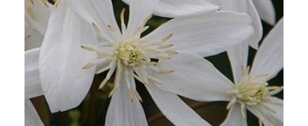 Evergreen Clematis