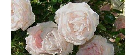 Climbing Roses/Ramblers