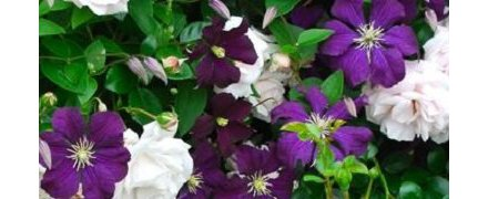 Roses - Clematis Combinations